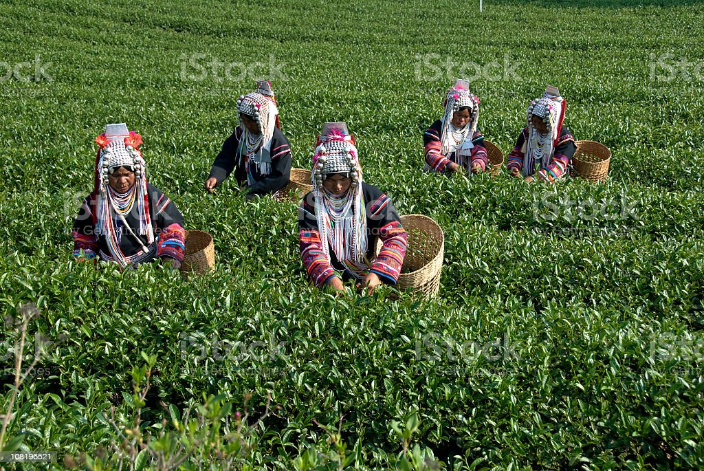 Akha Tea Pickers royalty-free stock photo