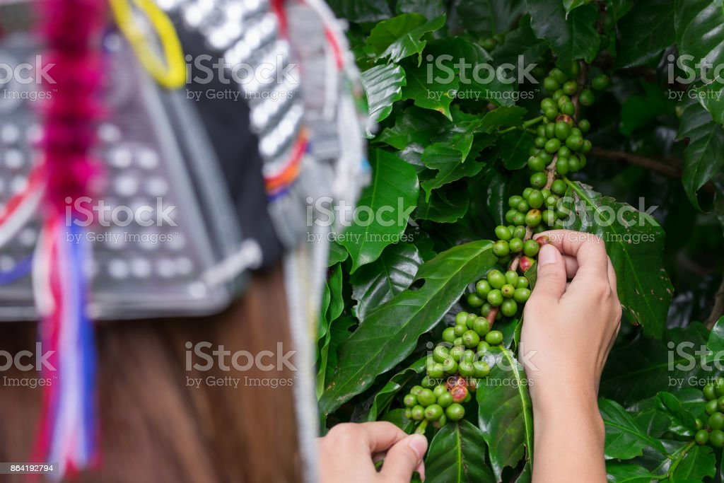 Akha tribe woman picking Fresh green coffee beans fruits growing on the branch royalty-free stock photo