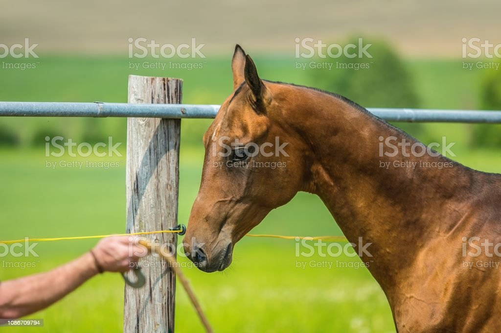Akhal Teke Horse From Turkmenistan Stock Photo Download Image Now Istock