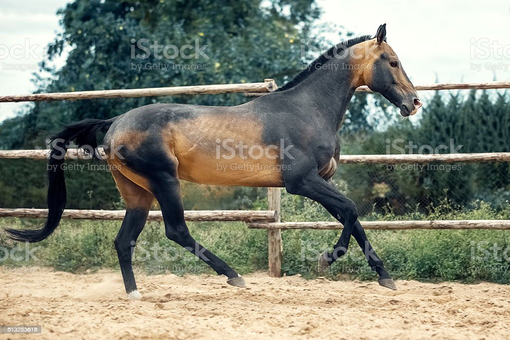 Akhalteke Horse Gallop Stock Photo Download Image Now Istock