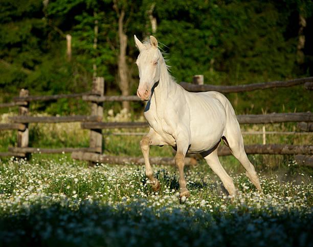akhal-teke horse galloping im feld mit blumen - akhal teke stock-fotos und bilder