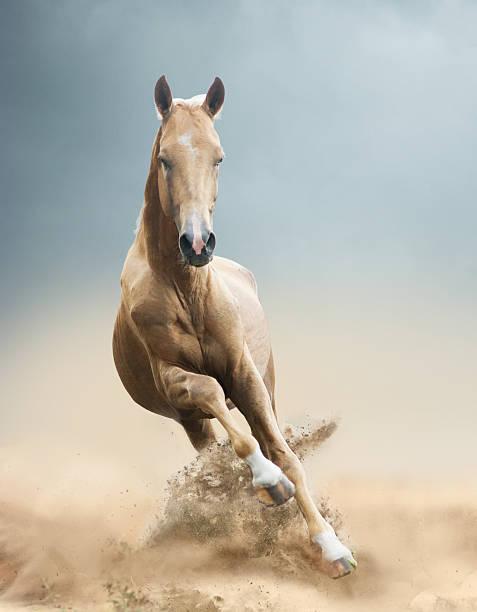 akhal-teke pferd in der wüste - akhal teke stock-fotos und bilder