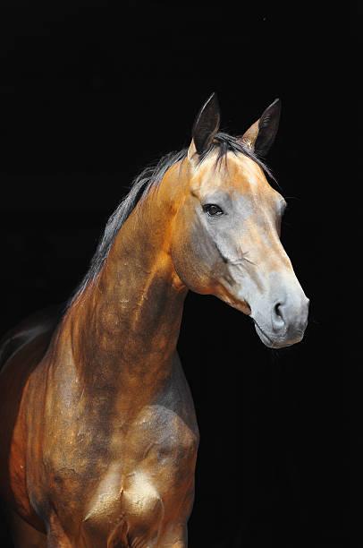 akhal-teke pferd isoliert auf schwarzem hintergrund, studioaufnahme - akhal teke stock-fotos und bilder