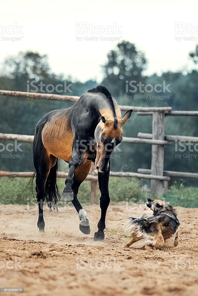 Akhal-Teke horse playing with the dog stock photo