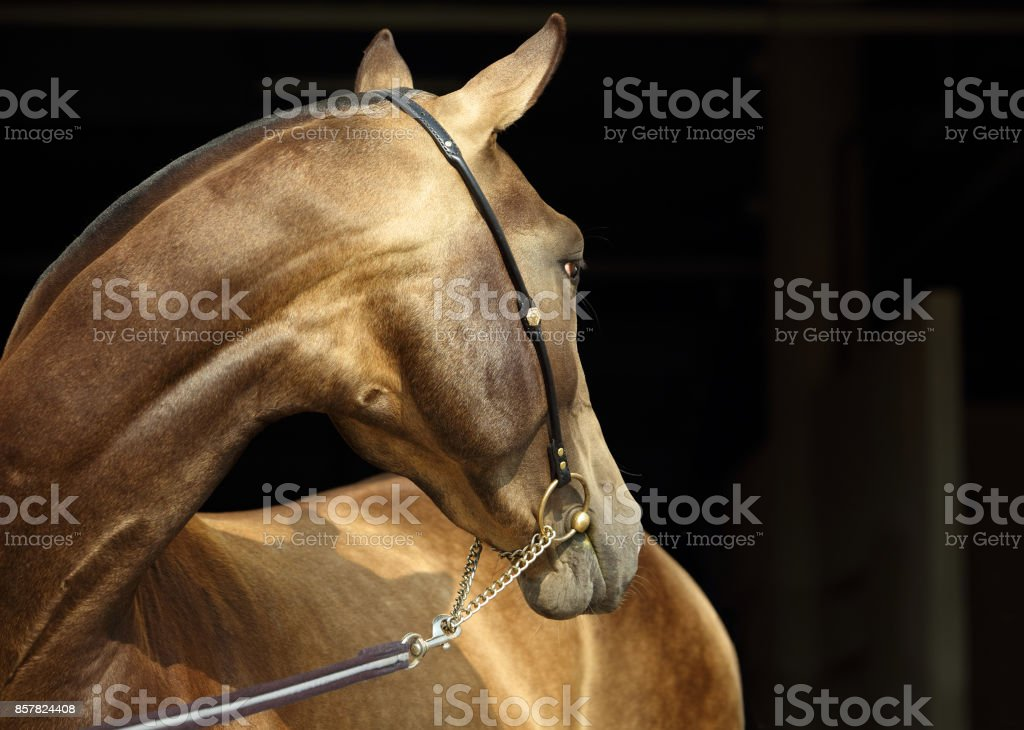 Akhal-Teke horse portrait with traditional bridle stock photo