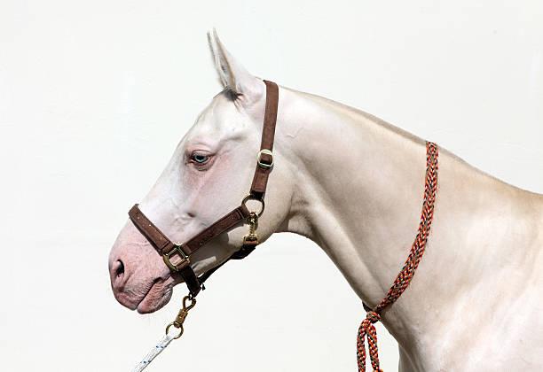 akhal-teke horse seltene cremige pink suit - akhal teke stock-fotos und bilder