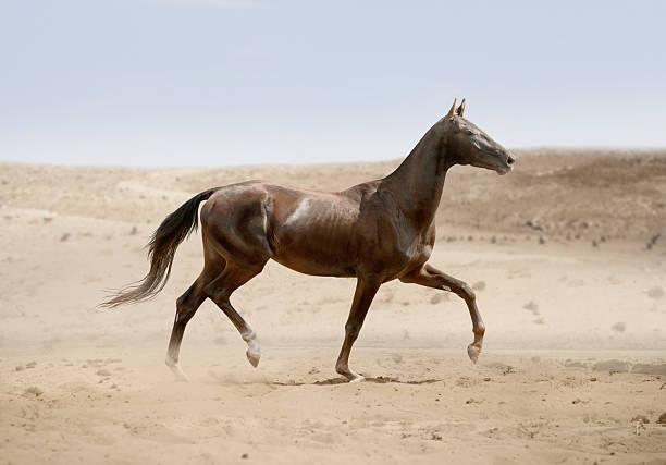 akhal-teke pferd läuft in wüste - akhal teke stock-fotos und bilder