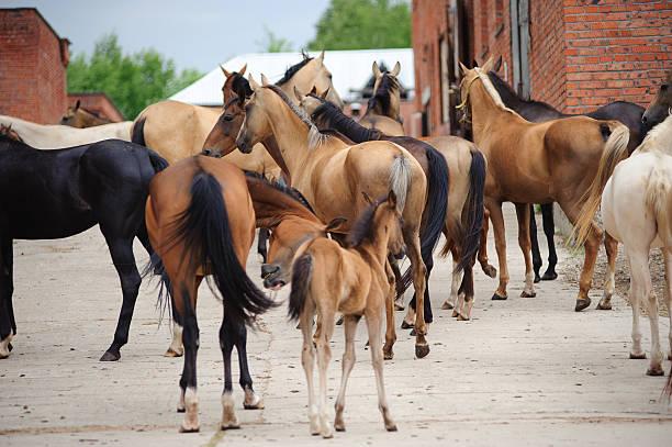 akhal-teke pferde in nieten - akhal teke stock-fotos und bilder