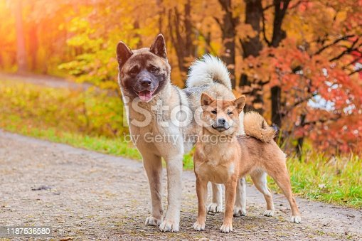 Akita and Shiba for a walk in the park. Two dogs for a walk. Autumn Park.
