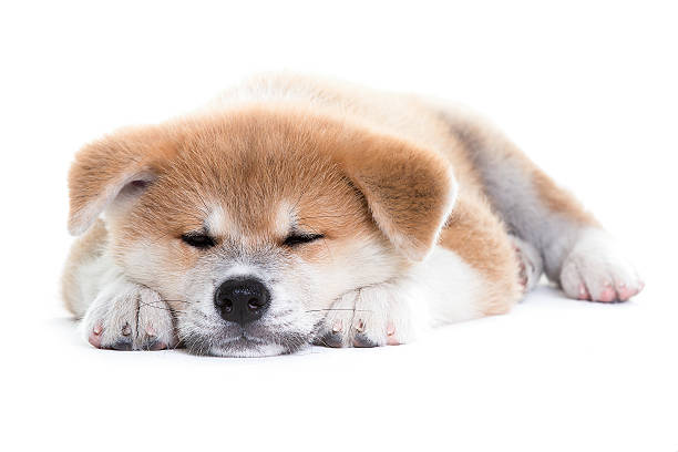 akita dog puppy sleeping stock photo