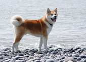 Akita Inu at the beach