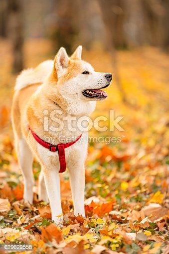 Akita inu dog in the park. Location: Belgrade, Serbia, Europe