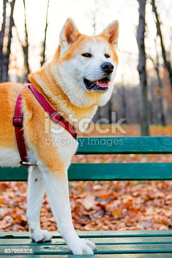 Akita inu dog in the park. Standing on green bench. Location: Belgrade, Serbia, Europe