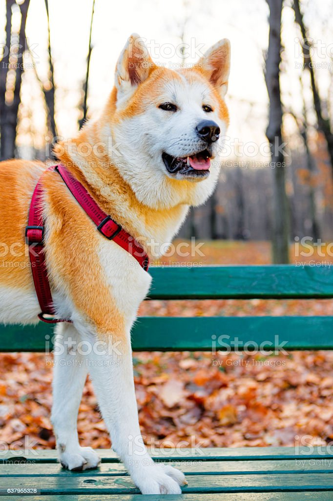 Akita inu dog in the park stock photo