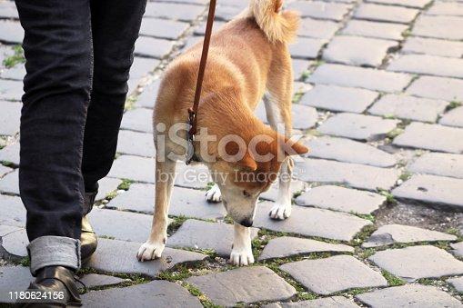 istock Akita inu dog on a leash is walking in the city 1180624156