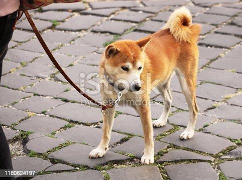 istock Akita inu dog on a leash is walking in the city 1180624197