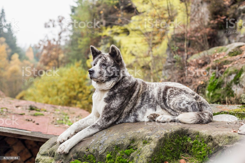 Akita inu dog portrait in nature stock photo