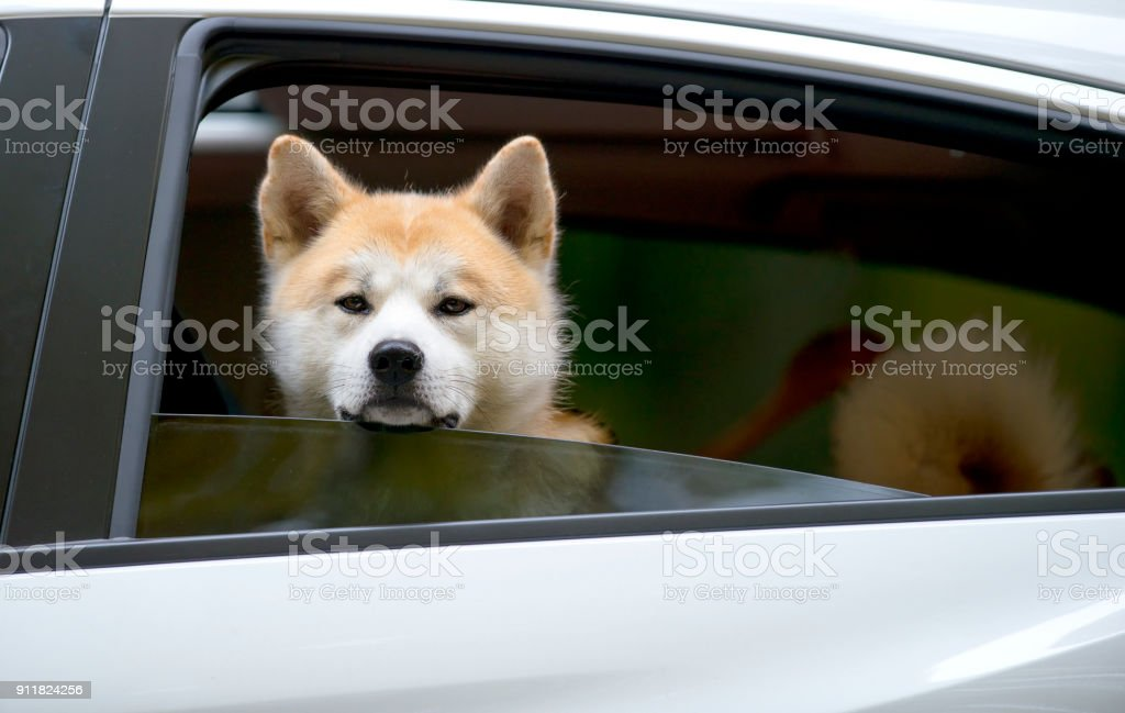 Akita Inu dog sitting in the car with open window and looking outside stock photo