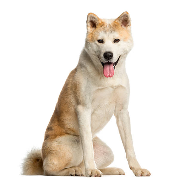 Akita Inu, facing and panting, isolated on white stock photo