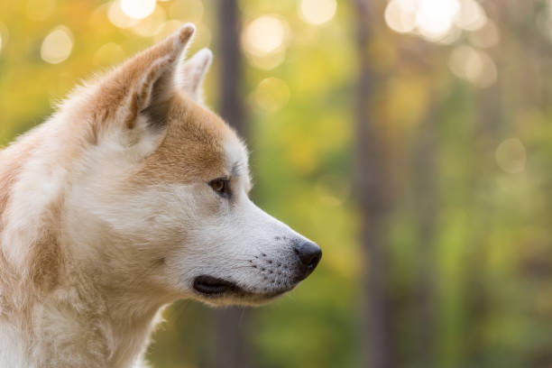 Akita inu japanese dog pedigree stock photo