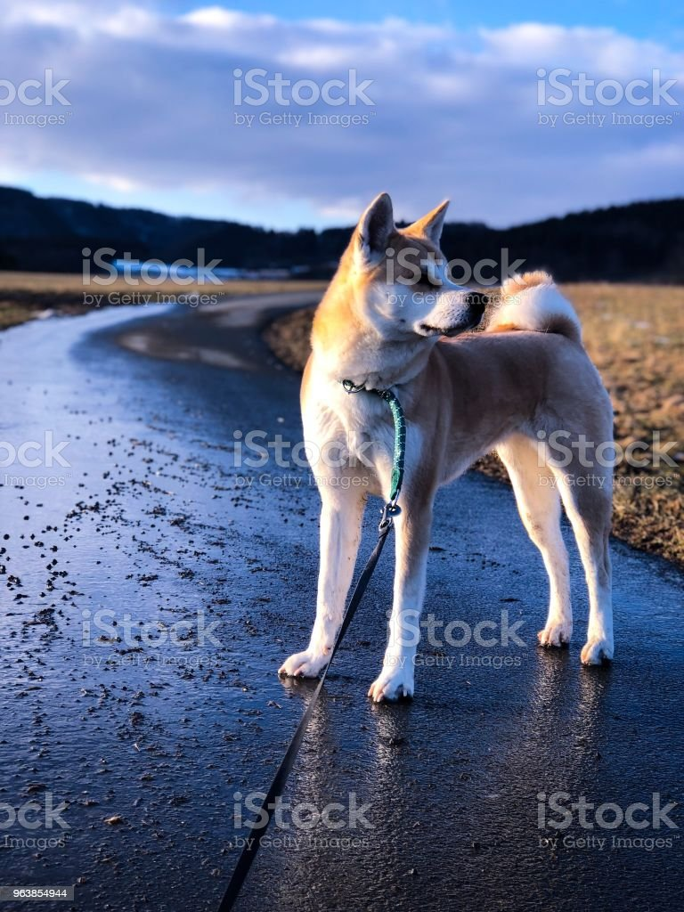 Akita Inu - Royalty-free Animal Stock Photo