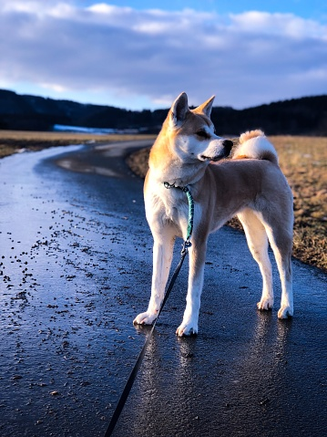 Akita Inu Stock Photo - Download Image Now