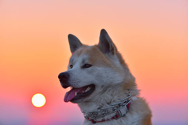 Akita inu portrait at sunset picture id636786036?b=1&k=6&m=636786036&s=612x612&w=0&h=7ycdhcrkfuolcx4nqo29aid2p2uiyycmbu u6o0aa s=