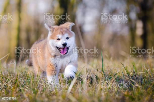 Akita inu puppy picture id657087754?b=1&k=6&m=657087754&s=612x612&h=oizoablxqoubsqaw68zyqou2rvk9ihl9naobzyegvim=