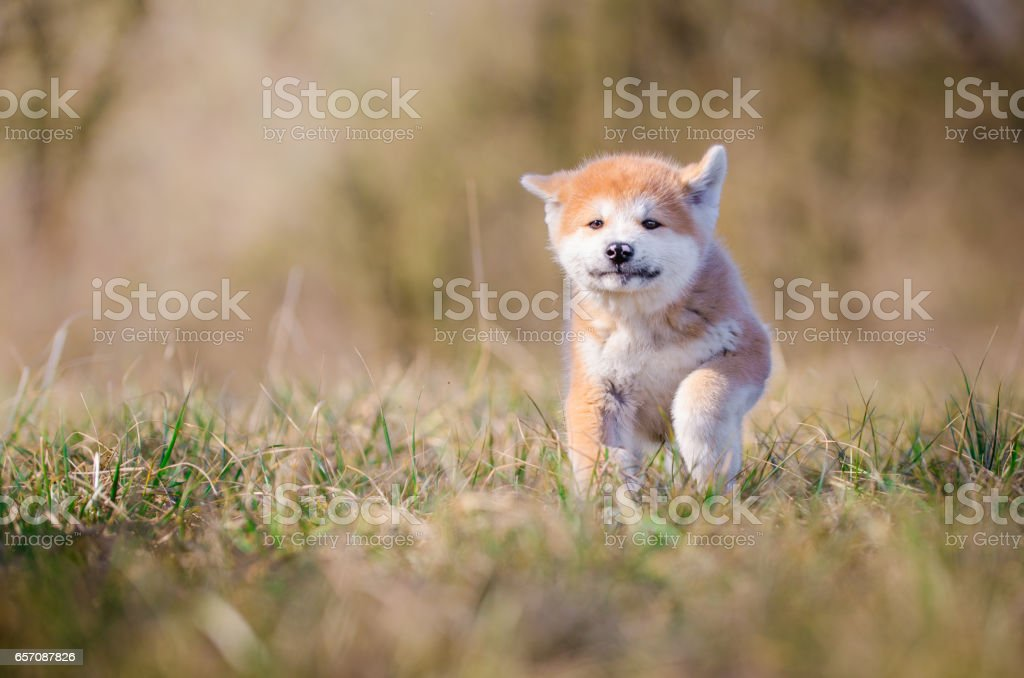 Akita inu puppy stock photo