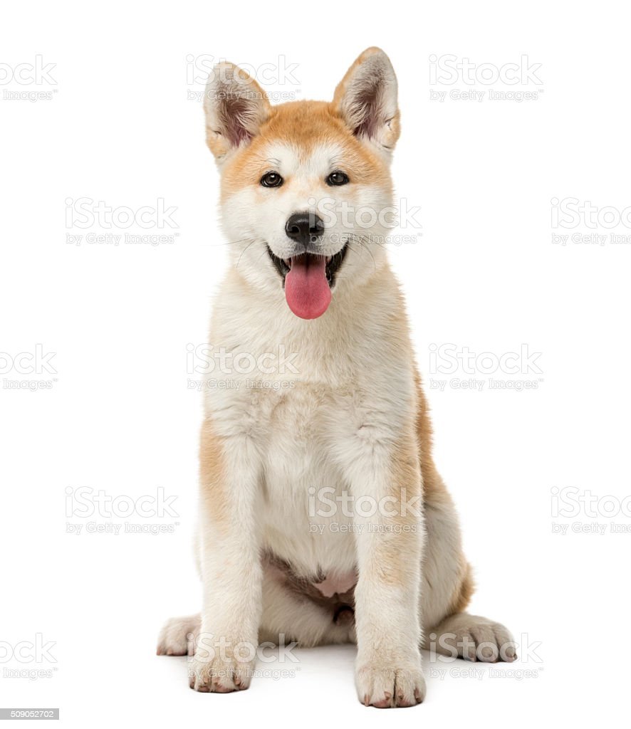 Akita Inu sitting in front of a white background stock photo