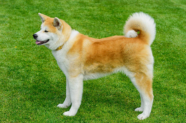 Akita - young dog standing on the green field. stock photo