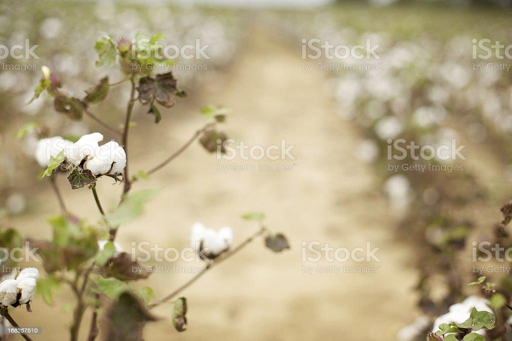 Alabama cotton field stock photo