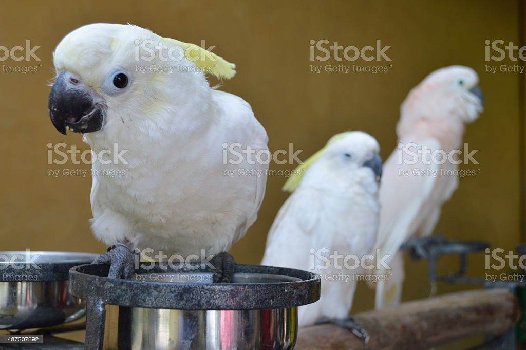 Alarmed Cockatoo close-up stock photo