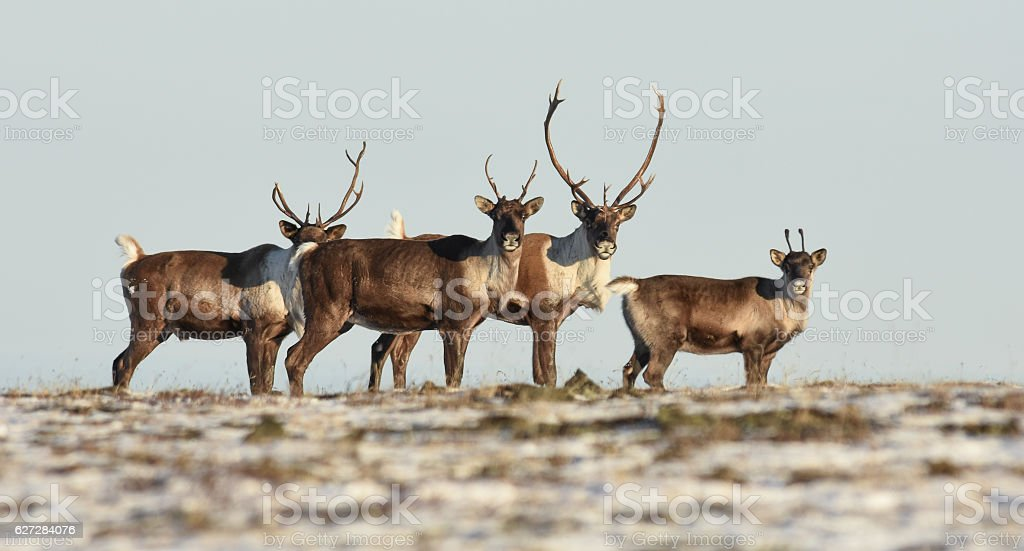 Alaska Band of Caribou in Field With Antlers - foto de stock