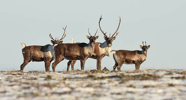 Alaska Band of Caribou in Field With Antlers - Photo