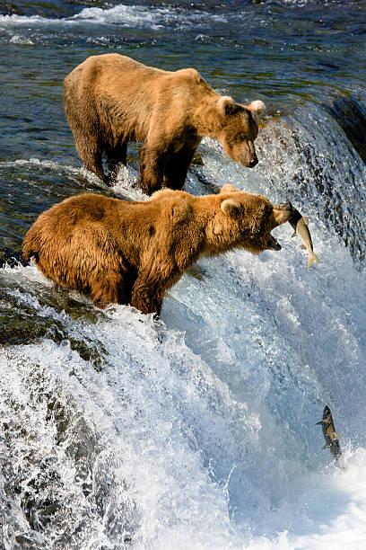 alaska. bear catches fish - fishman imagens e fotografias de stock