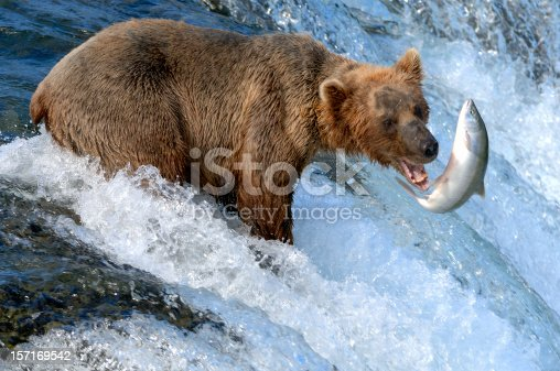 istock Alaska Brown Bear Catching Salmon 157169542