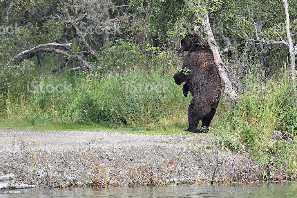 Alaska Brown Bear Catching Salmon royalty-free stock photo