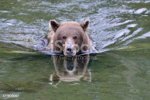 istock Alaska Brown Bear Catching Salmon 477839097