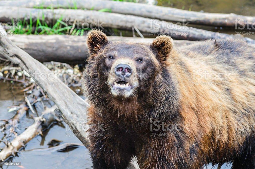 Alaska Brown Bear Snarling At Camera stock photo