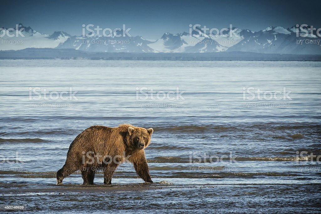 Alaska Brown Bear walking on beach. stock photo