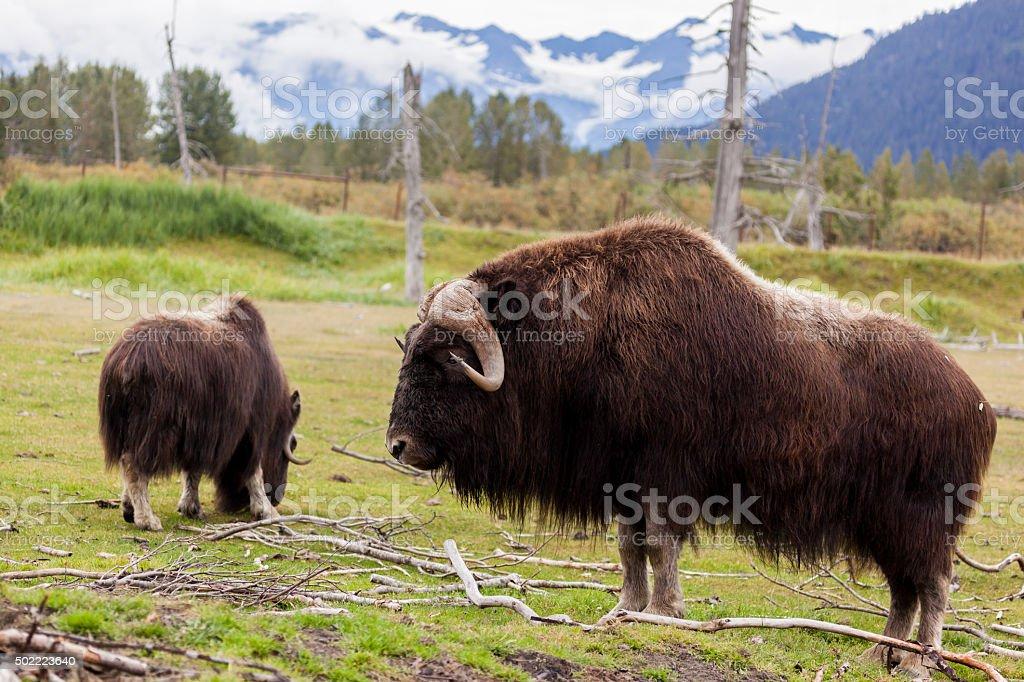 Alaska buffalo stock photo