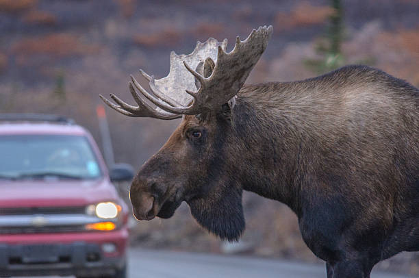 Alaska Bull Moose Close Up Near Car in Denali stock photo
