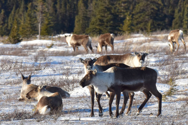 Alaska caribou in winter landscape stock photo