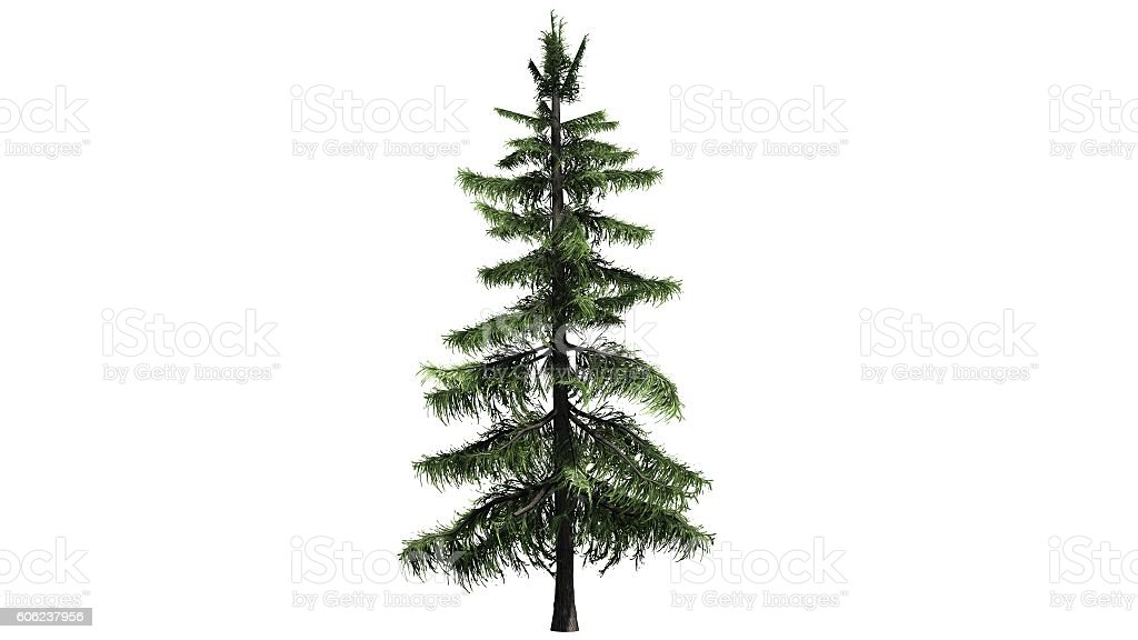 Alaska Cedar tree  - isolated on white background stock photo