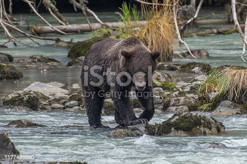 Alaskan coastal Brown bear fishing near Haines - bear wades or swims looking for salmon. He dives for one when it comes into view, then eats it immediately. They can eat around 30 a day.. Brown bear's distinctive features are the hump on the shoulders  and the dish shaped face.