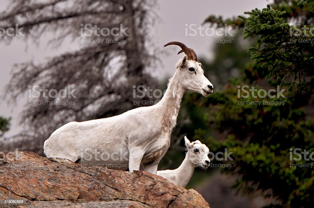 Alaska Dall Sheep stock photo