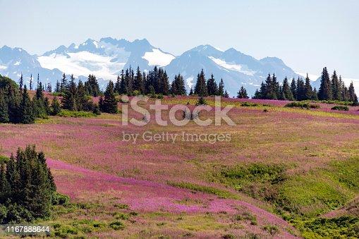 Alaska Fireweed - Homer, Alaska