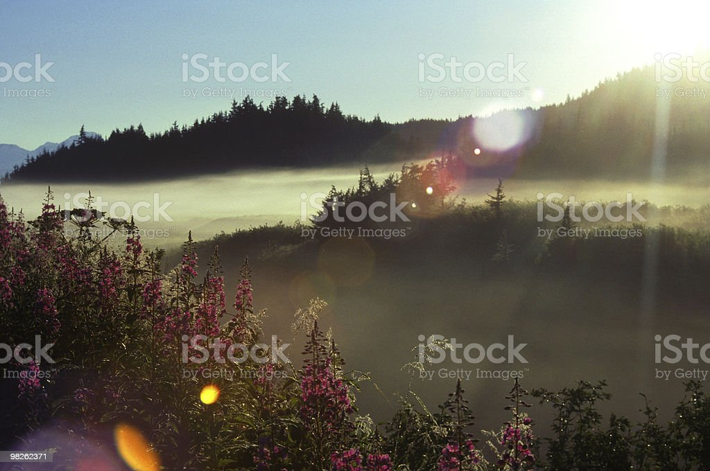 Alaska Fireweed royalty-free stock photo