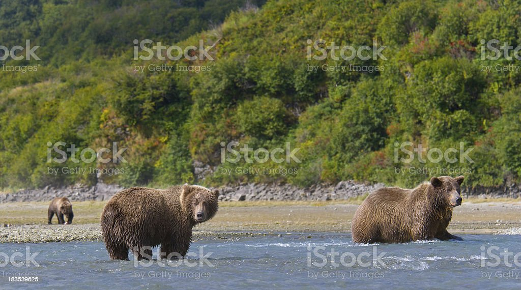 Alaska Grizzly Bears royalty-free stock photo